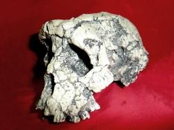 Quando la chimica racconta una storia: la scoperta del fossile di Toumai